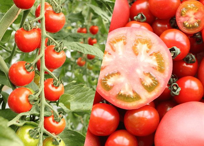 トマト/ミニトマト