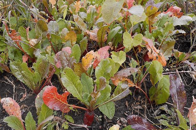 角川かぶ 葉